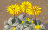 Yellow Daisy Cluster Badge - Solitaire Gardens